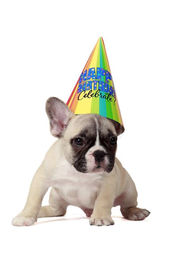 Happy Birthday Puppy. 8 Week Old French Bulldog Puppy wearing a Happy Birthday cone hat stock image