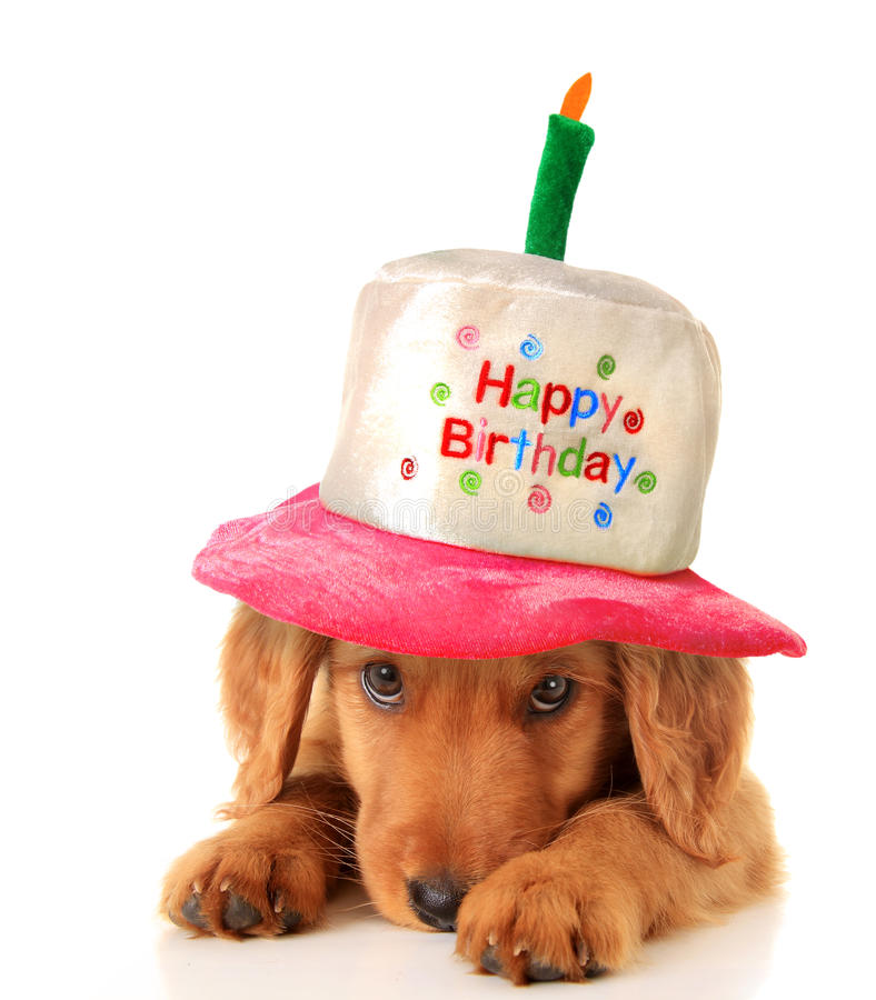 Happy birthday puppy. A golden retriever puppy wearing a happy birthday hat royalty free stock photos
