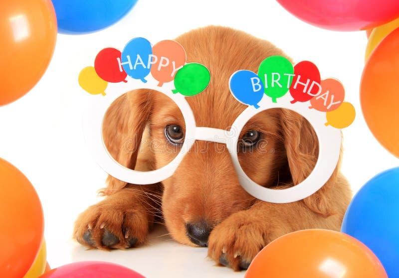 Happy Birthday puppy. A Irish setter puppy wearing Happy Birthday eye glasses royalty free stock photo
