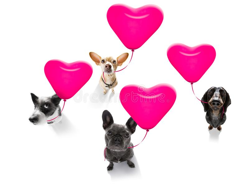 Happy birthday  valeintines dogs. Group row team of dogs in love for valentines or birthday  with red heart  balloon, isolated on white background stock photo