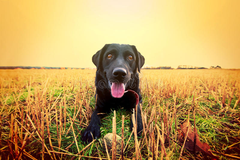Happy black labrador. Happy black labrador playing on the field. Animal conceptual image royalty free stock image
