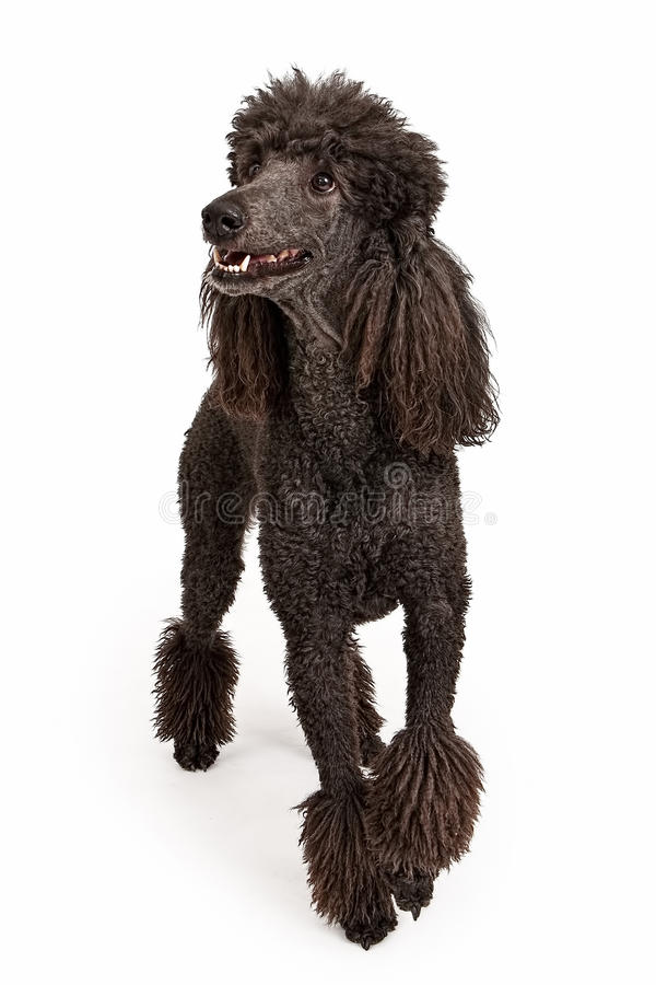 Happy Black Standard Poodle Dog. Black standard poodle with a happy look isolated on white royalty free stock photos