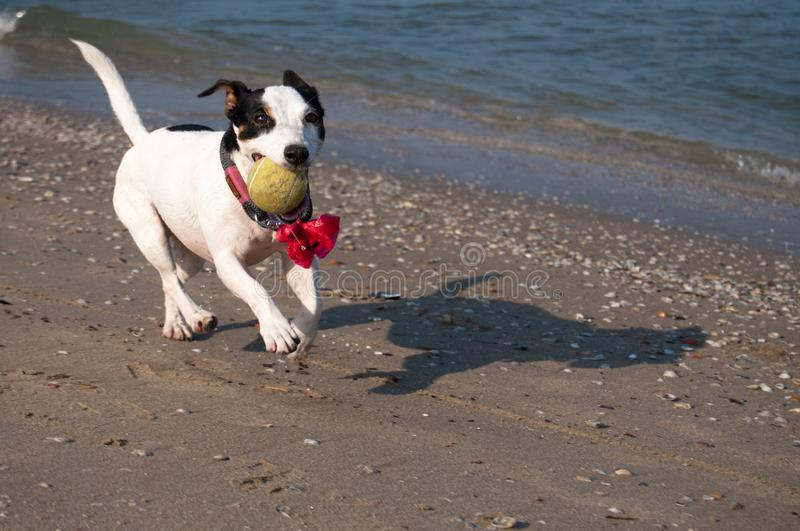 Happy black and white dog on the beach royalty free stock photography