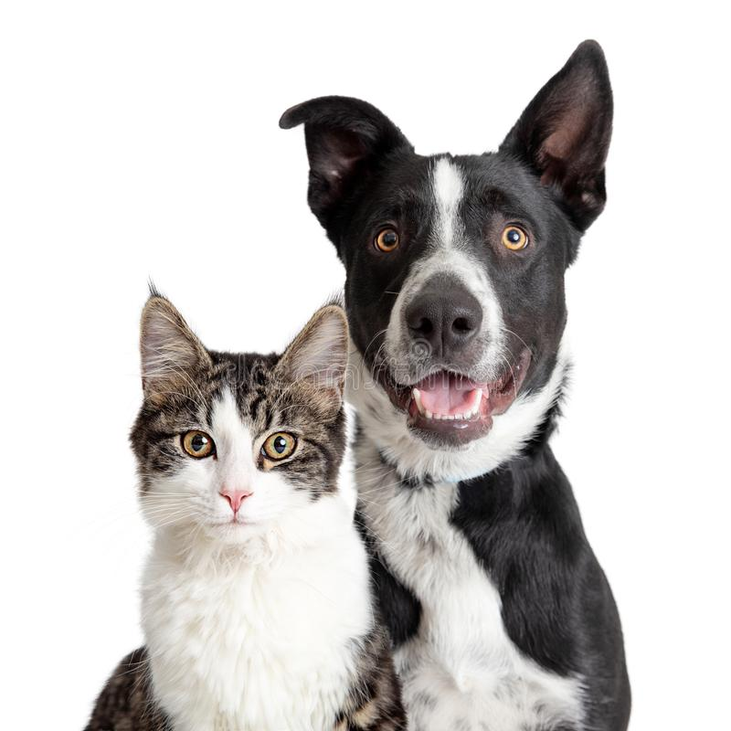 Happy Border Collie Dog and Tabby Cat Together Closeup royalty free stock photography