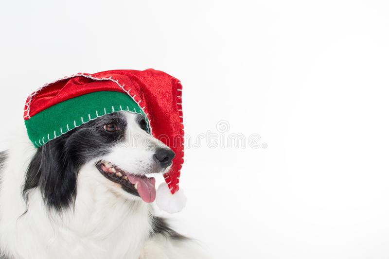 HAPPY BORDER COLLIE DOG WEARING A RED AND GREEN CHRISTMAS HAT IS. OLATED ON WHITE STUDIO BACKGROUND WITH COPY SPACE royalty free stock photos