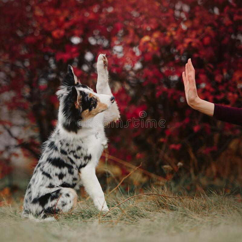 Happy border collie puppy gives paw to owner outdoors stock images