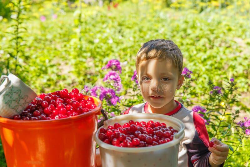 Happy boy eats freshly picked cherries royalty free stock photography