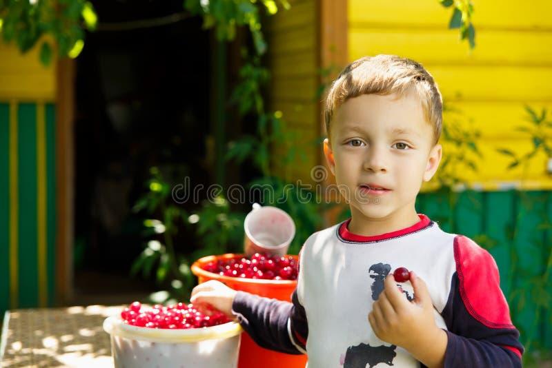 Happy boy eats freshly picked cherries stock image