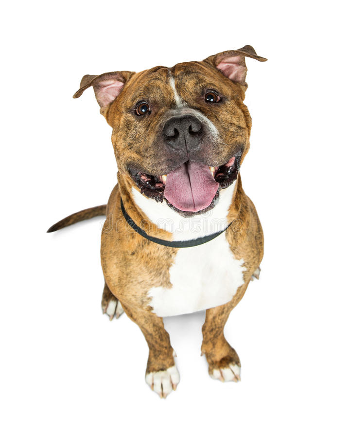 Happy Brown Brindle Pit Bull Dog Looking Up royalty free stock photo