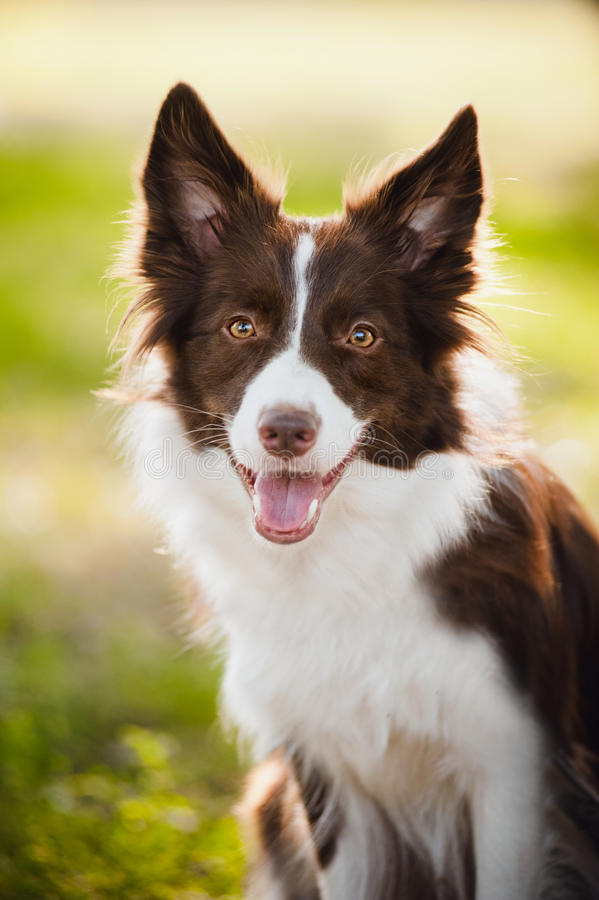 Happy brown dog border collie