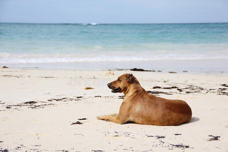 Happy brown Shorthair dog lying on the shore on the white sand. In the background is the vast blue Atlantic ocean. The stock images