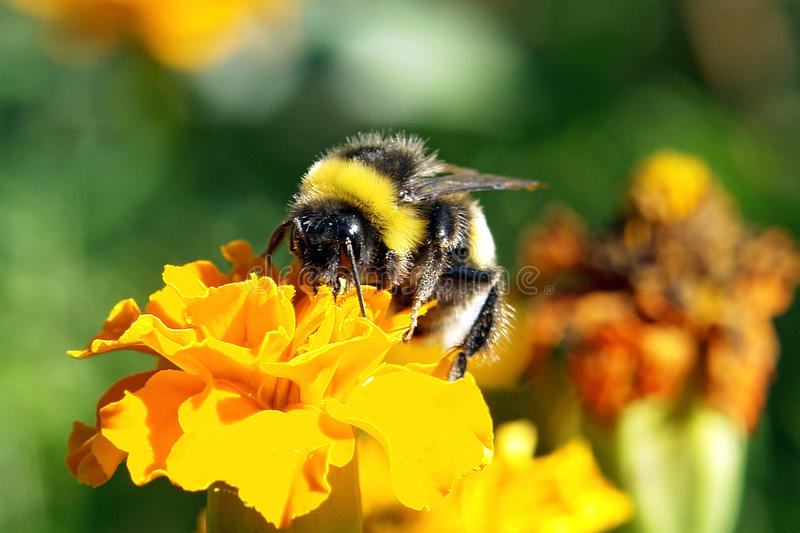 Happy Bumblebee in various colors. .. stock photos