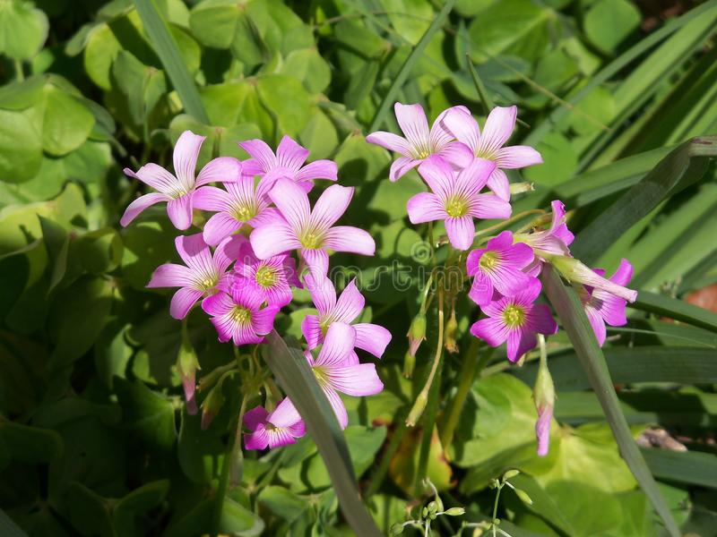 A bunch of wild pink Oxalis flowers in the sun. A happy bunch of pink Oxalis wildflowers in the summer sun royalty free stock image