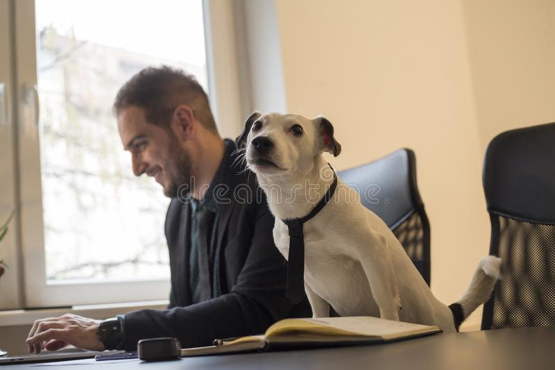 Happy businessman working on laptop in office sitting next to dog with a tie. By window black table with notebook papers phone jack russell terrier stock photos
