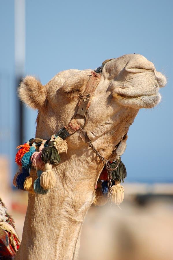 Free Happy Camel Royalty Free Stock Image - 3636356