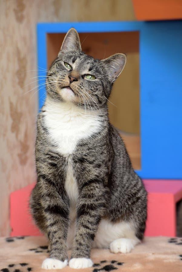 Happy cat. Beautiful young European Shorthair cat stock photography