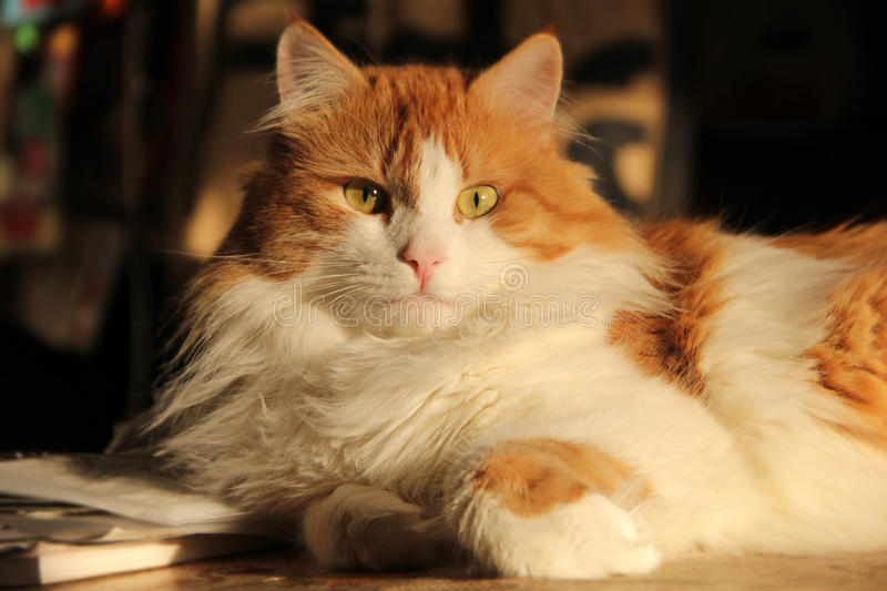 Happy cat. Happy proud cat on light`s of sun royalty free stock images