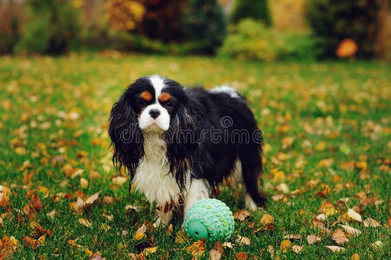 Happy cavalier king charles spaniel dog playing with toy ball royalty free stock image