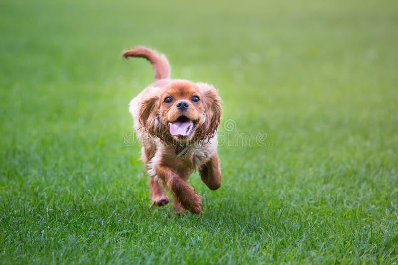 Happy cavalier king charles spaniel puppy running royalty free stock photos