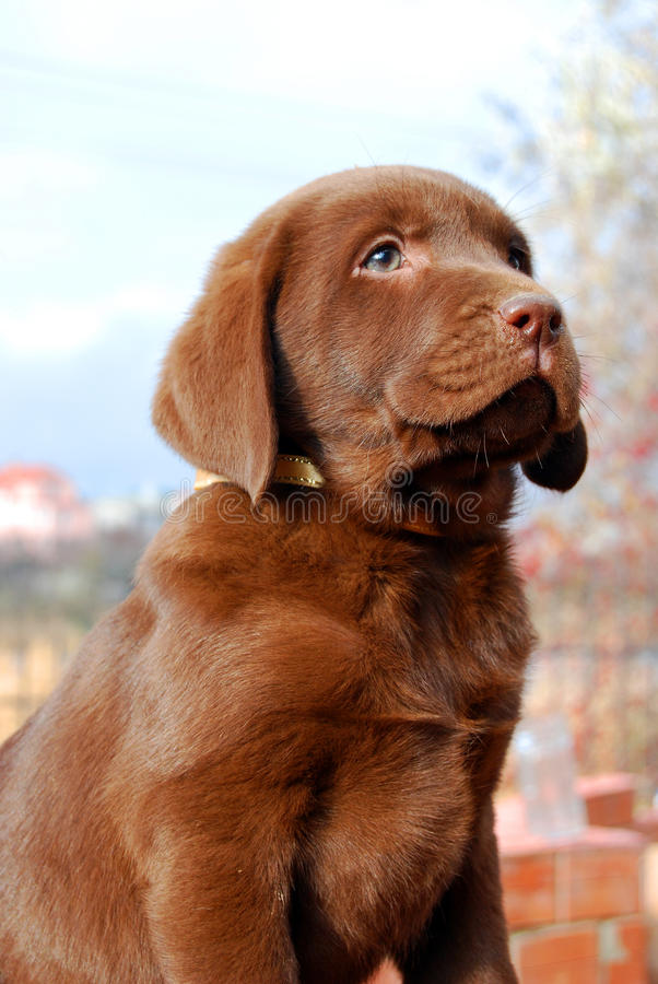 Happy chocolate labrador puppy portrait. Close up royalty free stock images