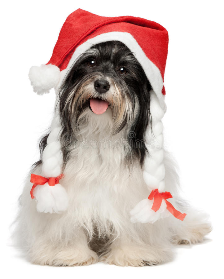 Happy Christmas havanese dog stock photos