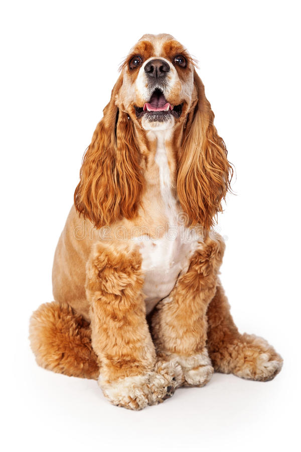 Free Happy Cocker Spaniel Sitting Stock Images - 42179564