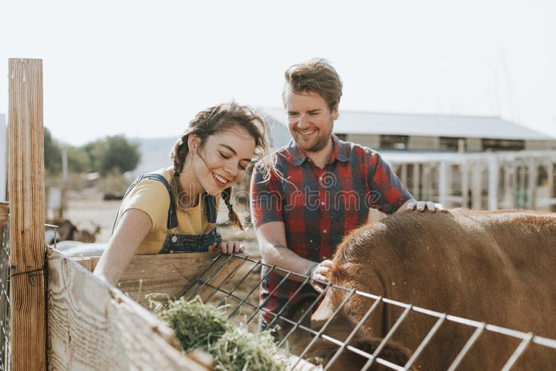 Happy couple feeding cow in a farm stock photography