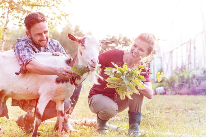 Happy couple feeding goat on grass at farm. Happy couple feeding goat on grass stock image