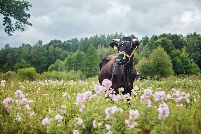 Cow Dairy Happy Stock Photos - Download 2,051 Royalty Free Photos