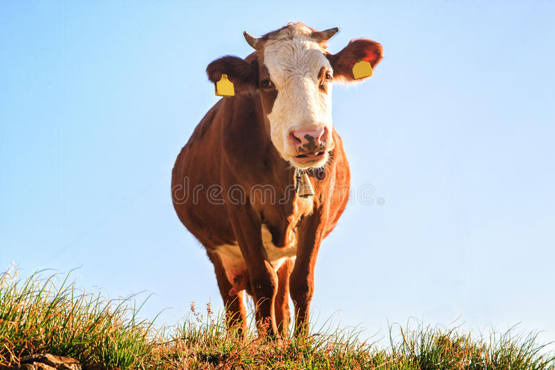 Happy cow stock image