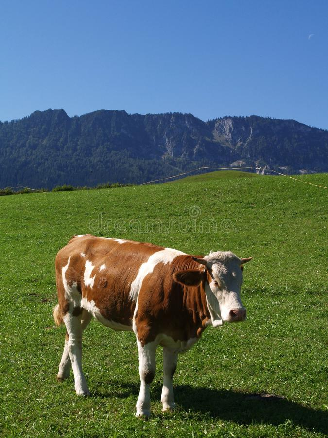 Download Happy cow on green grass stock image. Image of agriculture - 21835811
