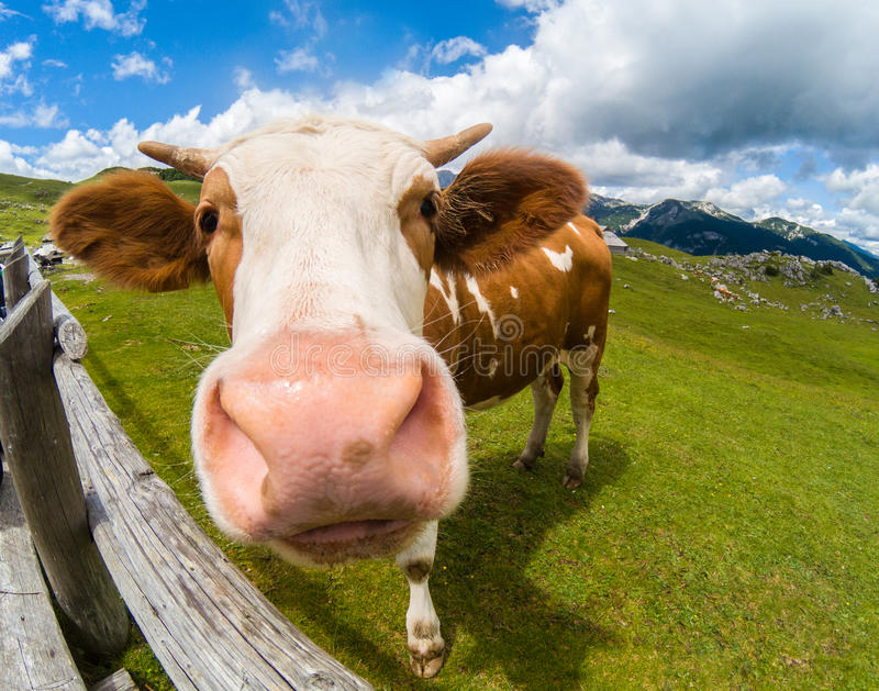 Happy cow in the mountains royalty free stock photo