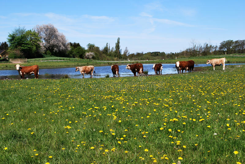Happy cows stock photo