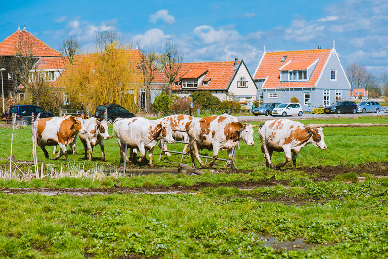 Happy cows jumping. After being released into an open field in the Netherlands, Europe stock photography