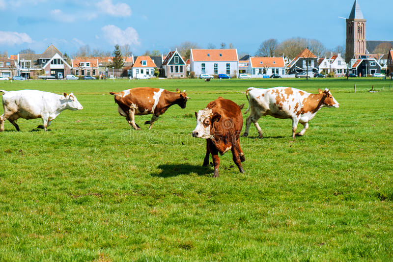 Happy cows jumping. After being released into an open field. Shot near Amsterdam, Dutch capital stock photography