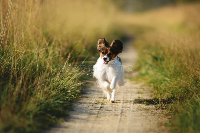 Happy and crazy papillon dog running in the field. Cute and funny dog breed continental toy spaniel having fun outdoors royalty free stock photos