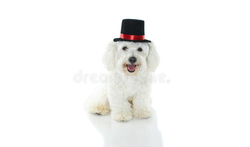 HAPPY AND CUTE MALTESE DOG COSTUME MAGICIAN CELEBRATING HALLOWE stock photography