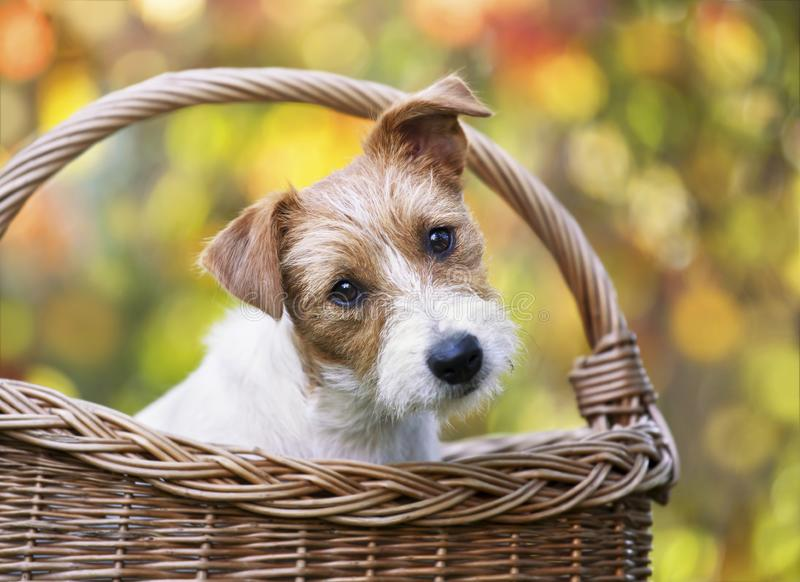 Happy cute pet dog puppy looking in a basket royalty free stock photography