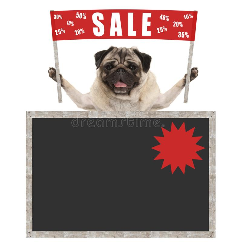 Happy cute pug puppy dog holding up red banner sign with text sale % off, with blank blackboard. Isolated on white background royalty free stock photo