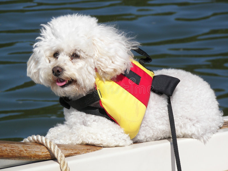 White poodle with life jacket. White poodle on a boat with life jacket stock photography