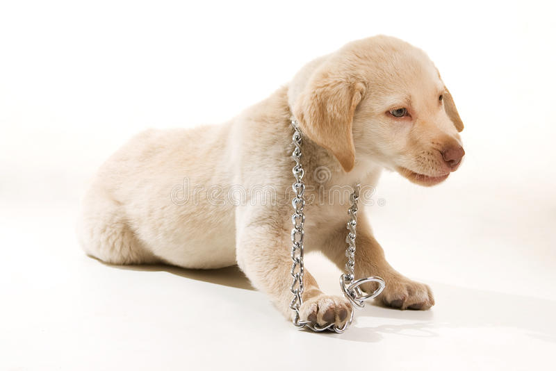 Happy Dog. A dog trying to escape his collar stock photo