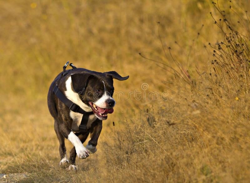 Happy dog. Boggle mixed boston terrier and beagle royalty free stock photography