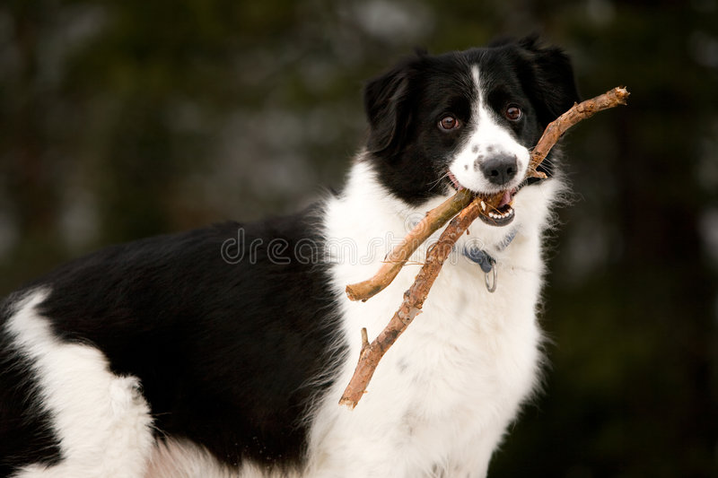 Download Happy dog stock image. Image of collie, sheepdog, stick - 4146609