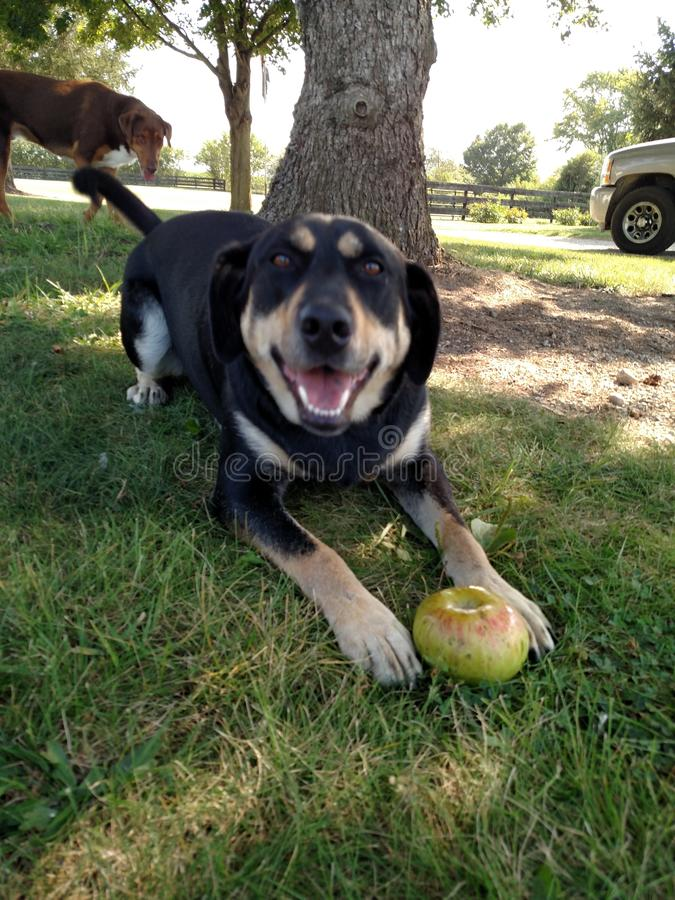 Happy Dog With An Apple stock images