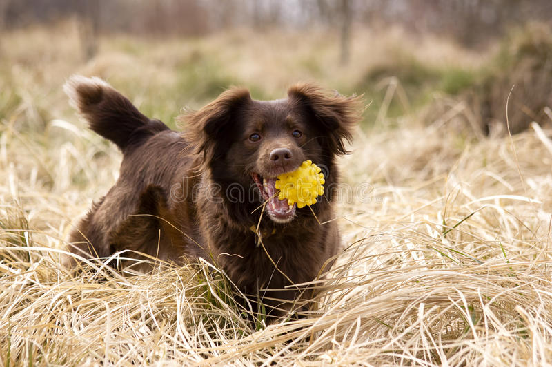 Happy Dog With Ball Stock Images