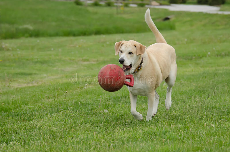 Happy dog with ball. Happy Labrador retriever mix dog playing in field with red ball royalty free stock photos