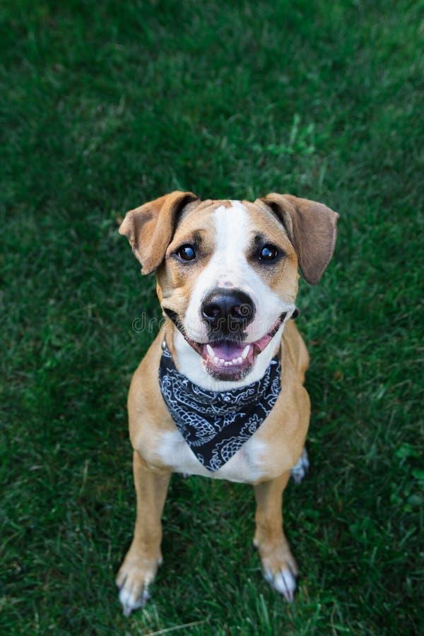 Happy dog in bandana looking up stock photography