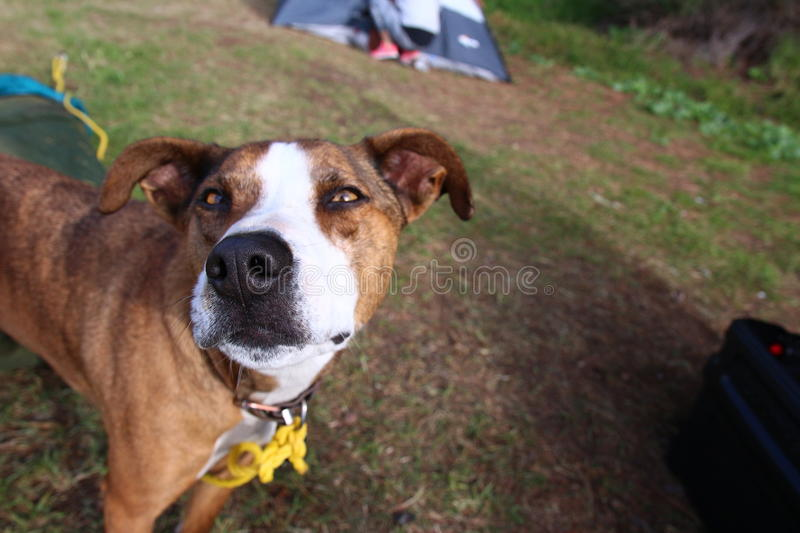 Happy dog camping. Dog smiling for the camera while on a camping trip stock image