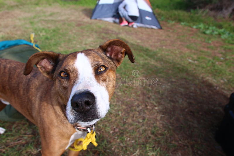 Happy dog camping royalty free stock images