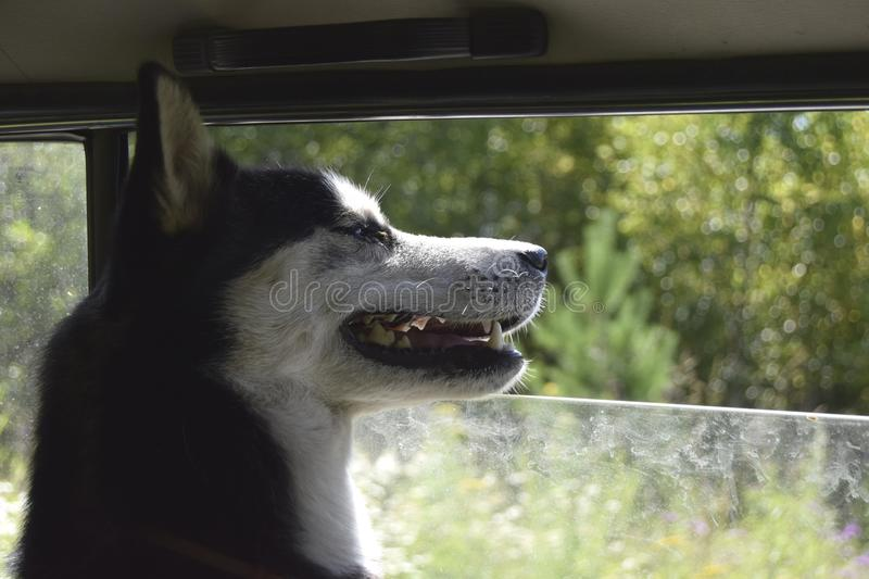 A happy dog in the car royalty free stock image